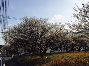 FullSizeRender (南片江の桜)